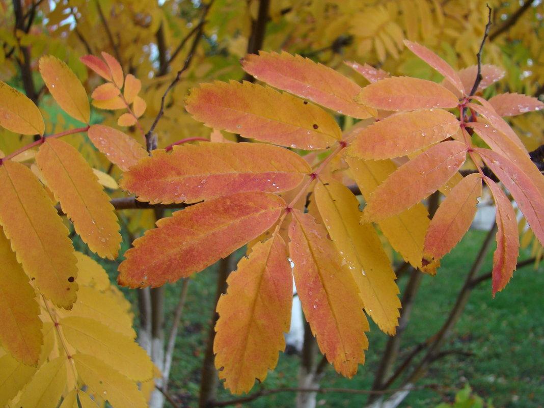 Рябиновый лист - марина ковшова