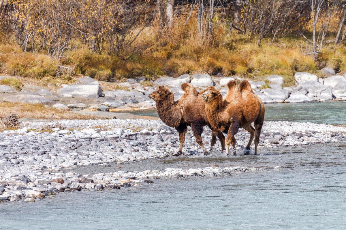 Верблюды на реке Аргут - Галина Шепелева