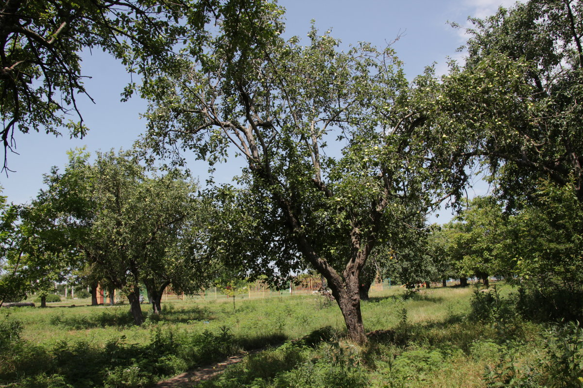 Яблони в бывшем саду - Олег Афанасьевич Сергеев