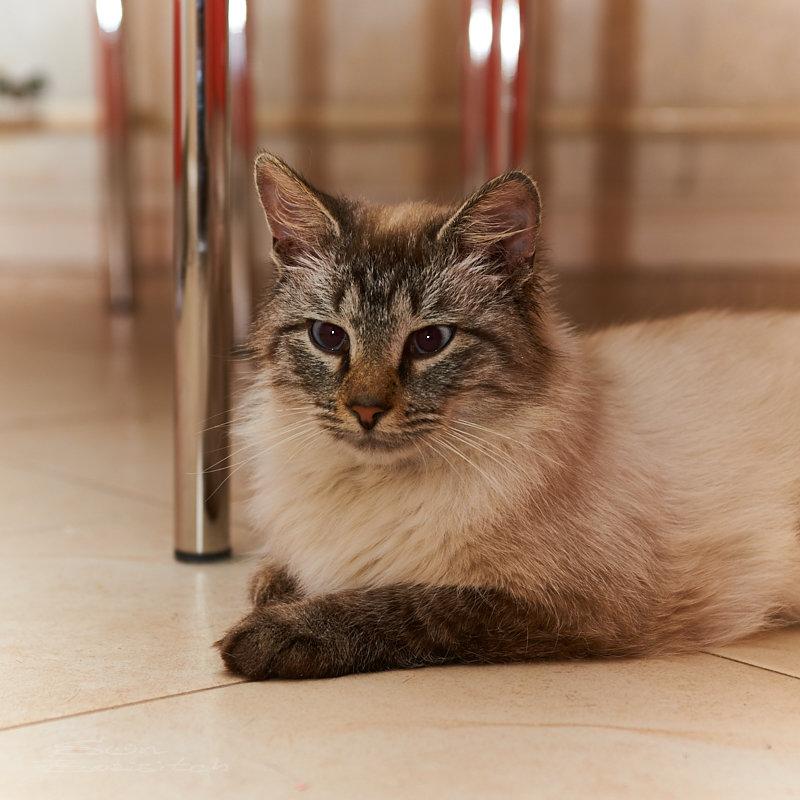 Тарасик (кот), лежащий на кафельном полу - Александр Амеличкин