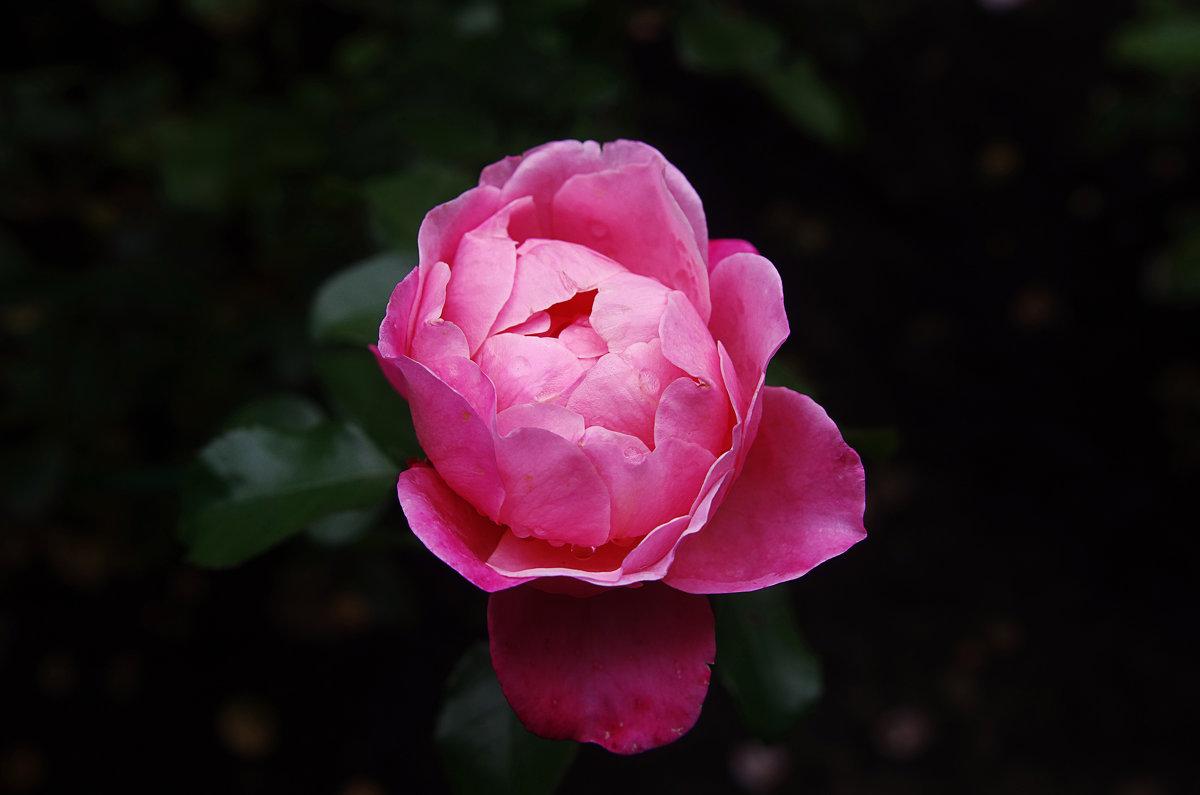 Роза - Евгений