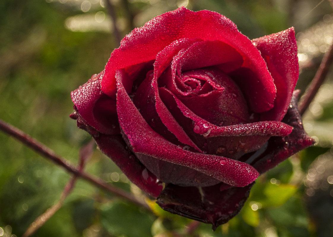 Утренняя роза - Андрей