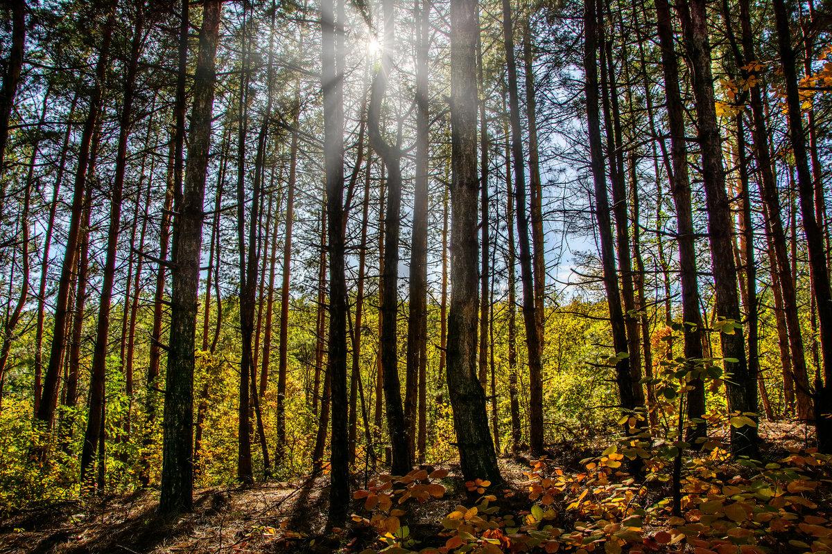 Осень в сосновом лесу - Юрий Шапошник