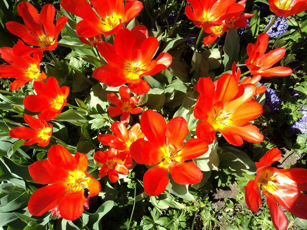 Тюльпаны - kuta75 оля оля