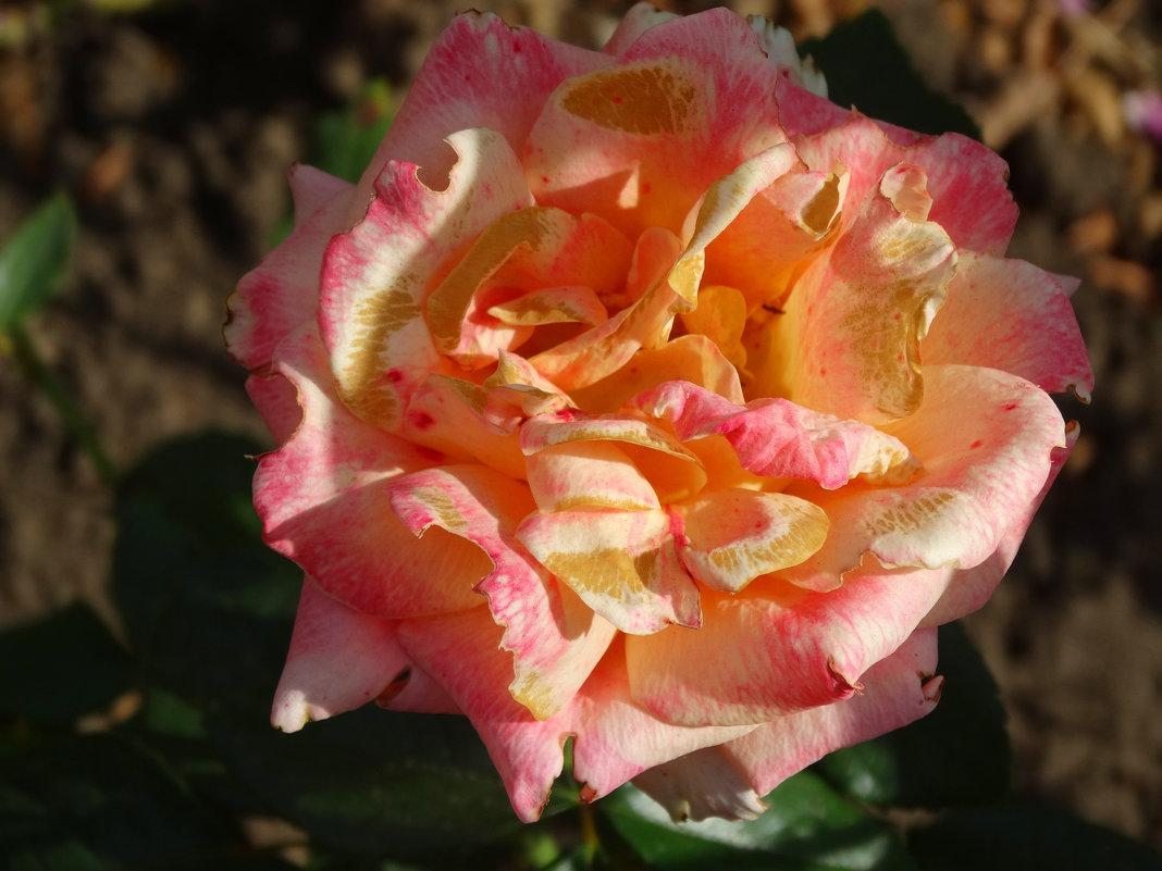 Сентябрьские розы...2 - Тамара (st.tamara)