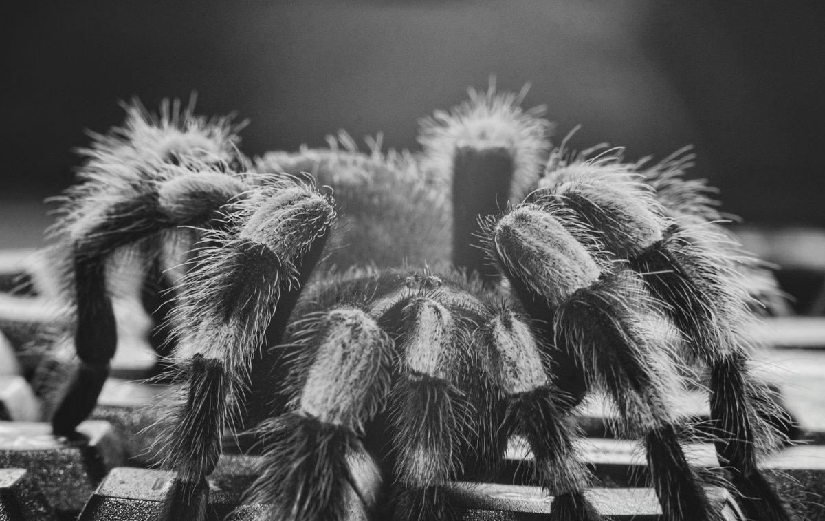 Theraphosidae - Роман Шершнев
