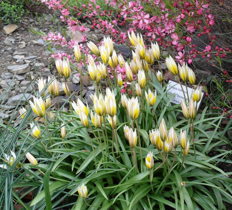 Тюльпан двухцветковый, или Калье - Елена Гуляева (mashagulena)