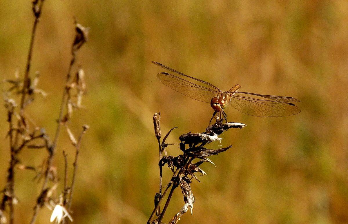 стрекозы сухой травы 1 - Александр Прокудин