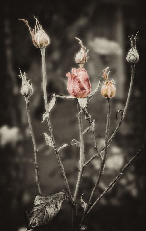 Розы - Alexander Dementev