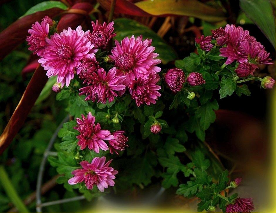 хризантемы в саду - Александр Корчемный