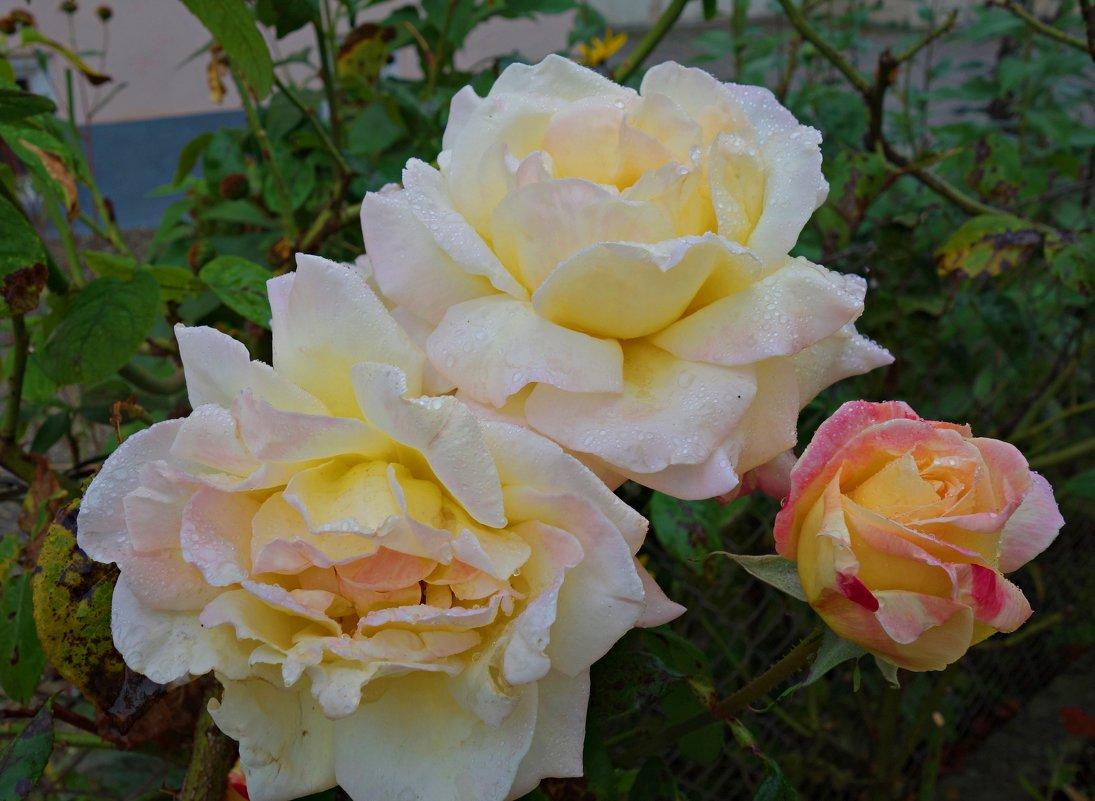 Розы октября....... - Galina Dzubina