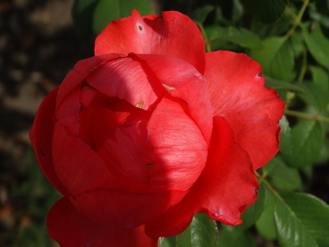 Сентябрьские розы...4 - Тамара (st.tamara)