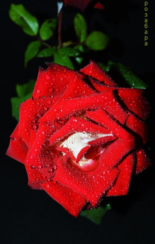 роза-чёрный фон - Роза Бара