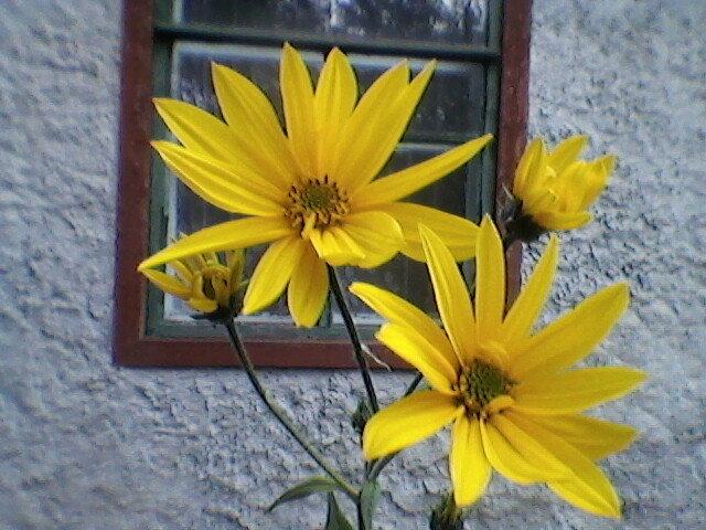 Топинамбур в цвету - Миша Любчик