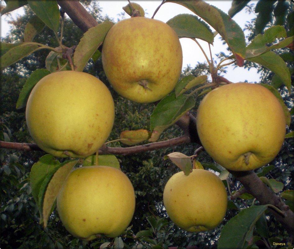 Яблочный хоровод - Татьяна Пальчикова