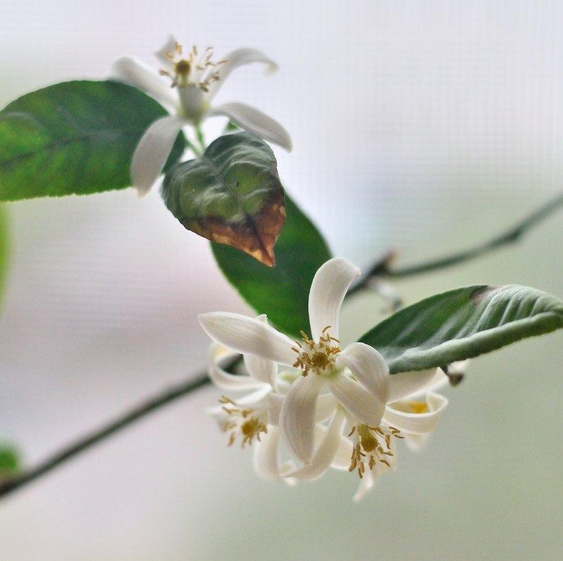 цветки лимона - Мария Климова