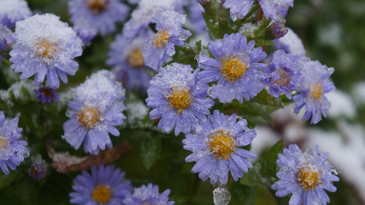 цвет и снег - Alexandr Staroverov