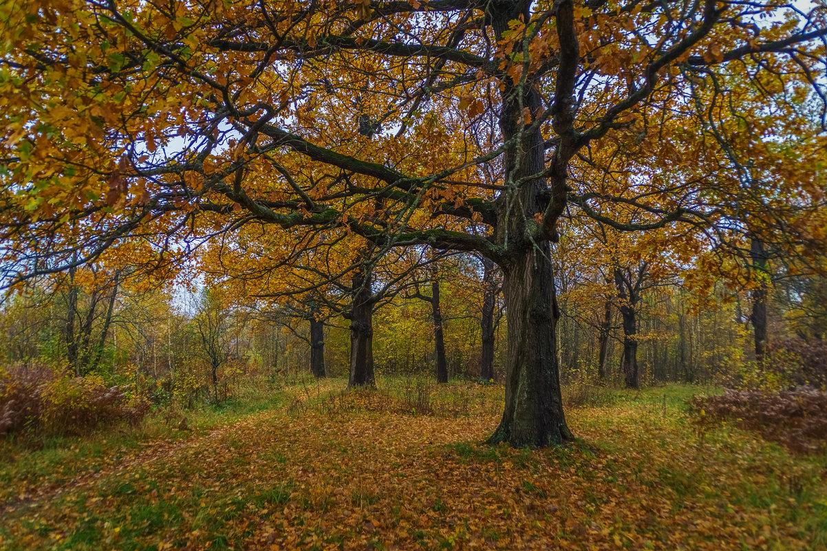 Дубовая роща, осень - Андрей Дворников