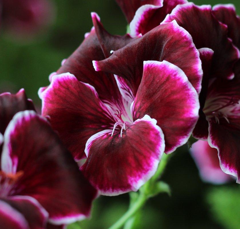 герань цветет - leoligra