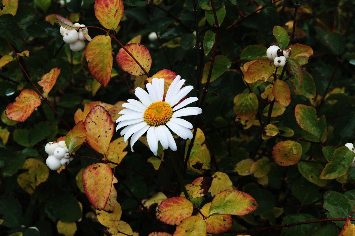 Осенняя ромашка - Damir Si