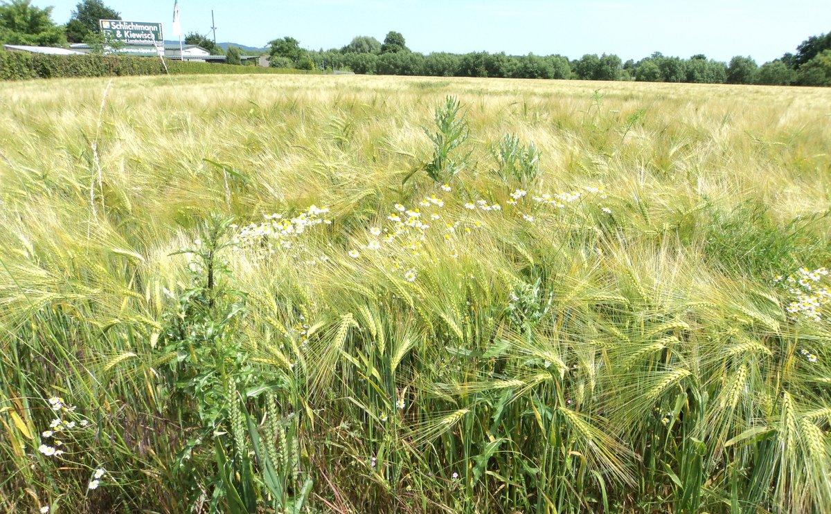 Пшеничная дымка - kuta75 оля оля