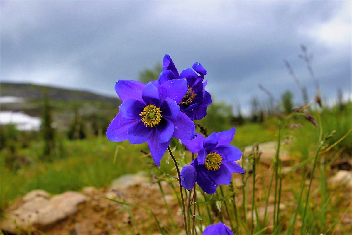 Цветут в горах аквилегии - Сергей Чиняев