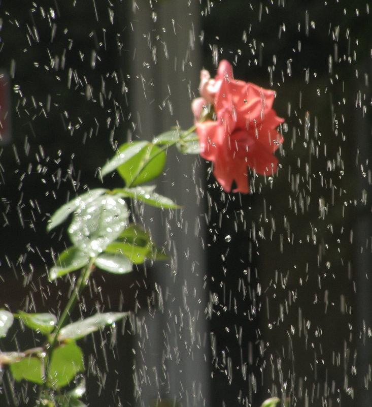 Эксперимент с розой днем - Yulia Deimos