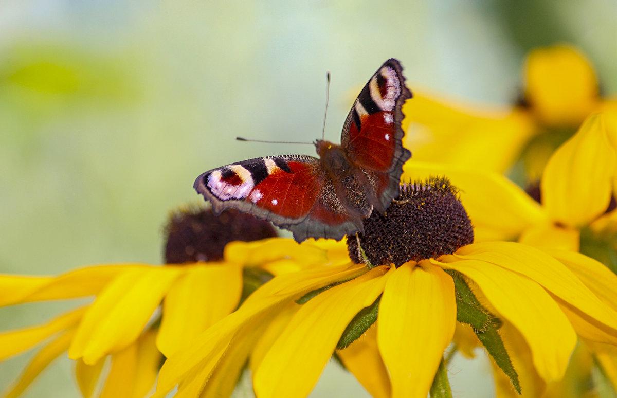 Бабочка на цветке - Елена ))