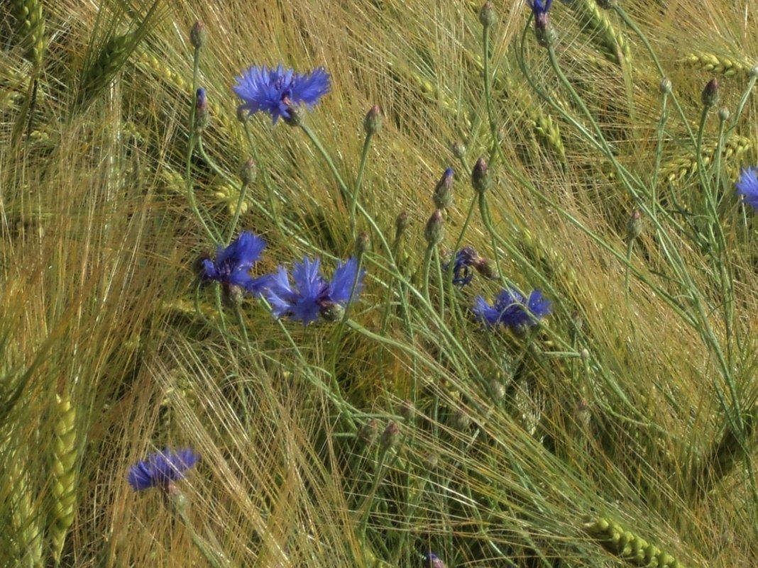 пшеничная ажурность - kuta75 оля оля