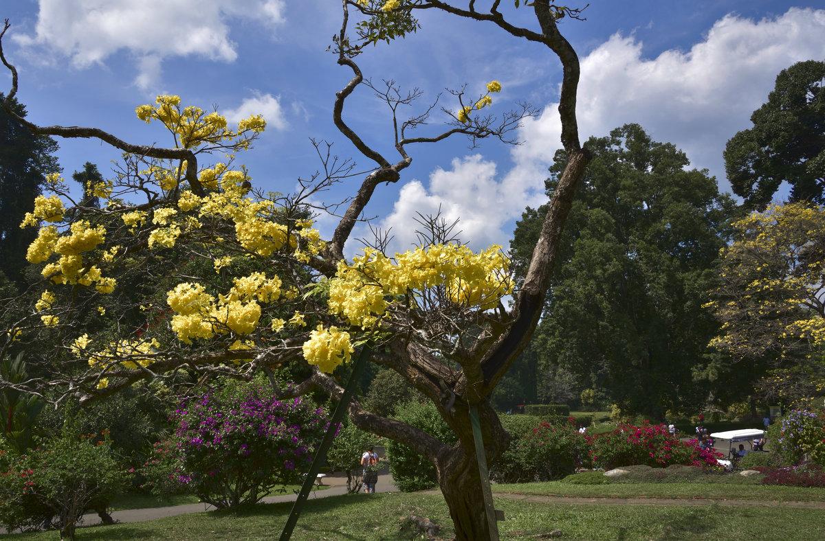 Королевский ботанический сад в январе. Цейлон. - Юрий Воронов