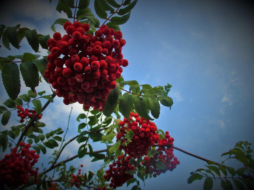 Красная рябина... - Valentina