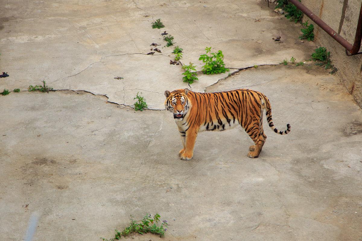 Тигр - Ксения