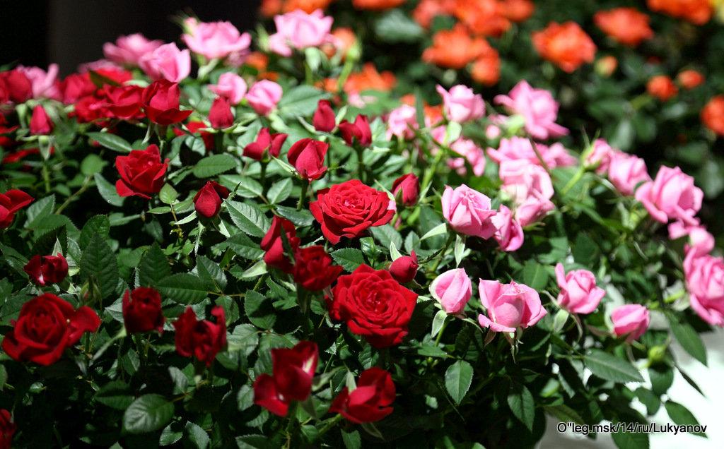 про цветы-розочки - Олег Лукьянов