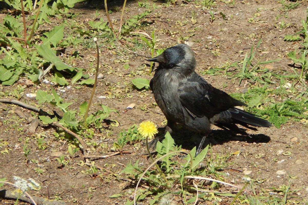 галка - linnud