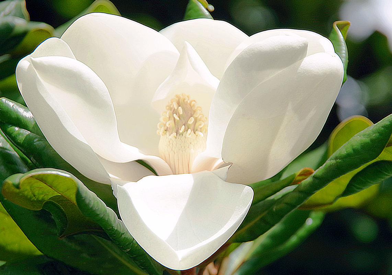Magnolia Grandiflora - Лариса Журавлева