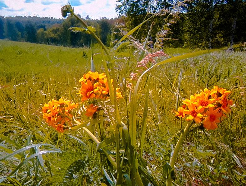 Полевые цветы - Лариса Димитрова