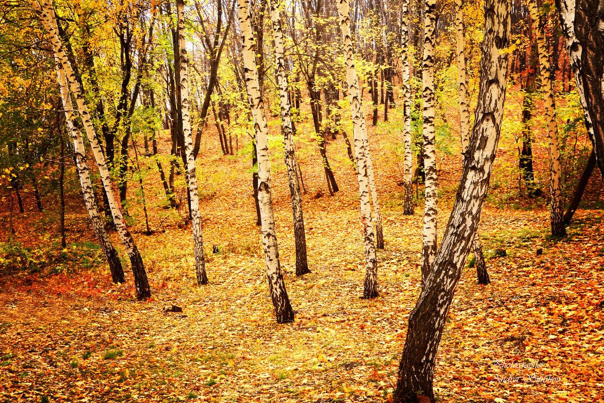 Осенний берёзовый лес - Андрей Ситников