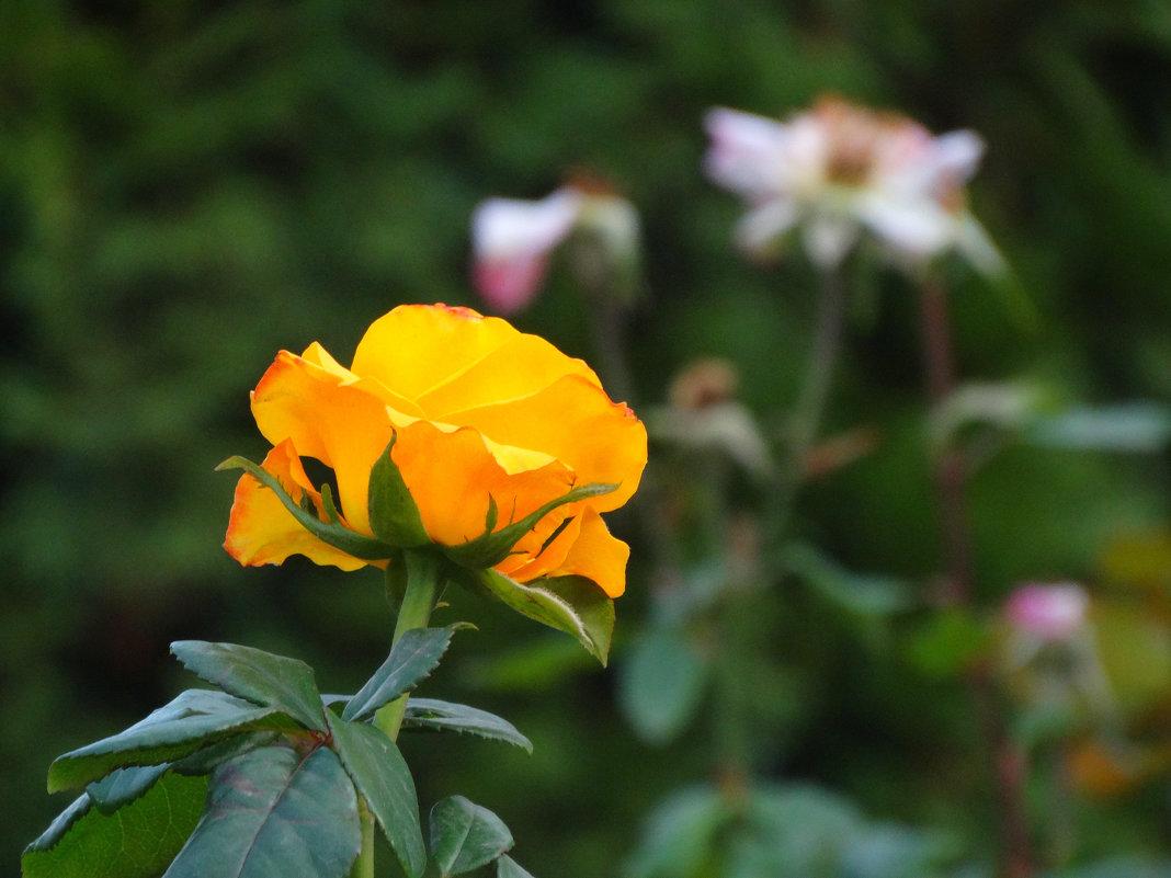 Октябрь,городские розы... - Тамара (st.tamara)