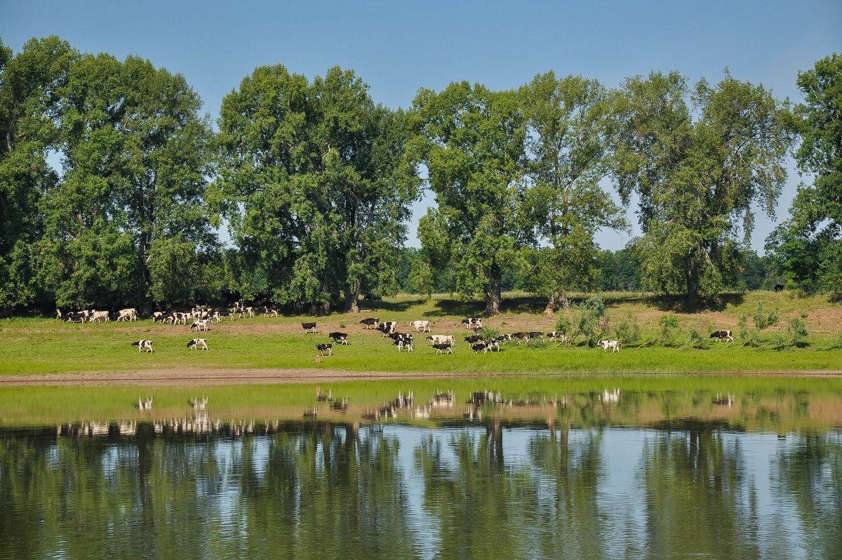 Стадо коров на берегу реки Белой - Сергей Тагиров