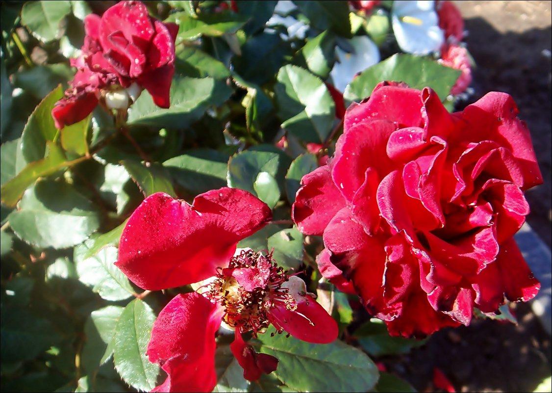 Октябрьские розы - Нина Корешкова