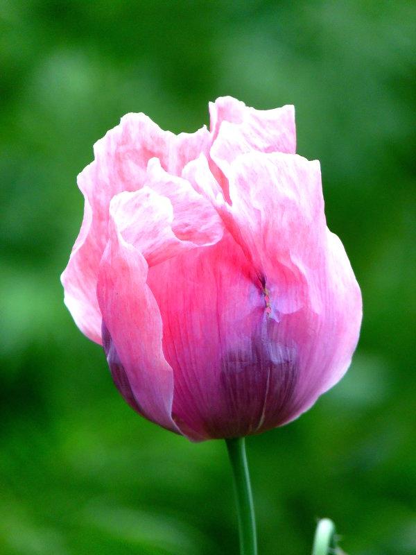 Это не тюльпан-это мак. - nadyasilyuk Вознюк