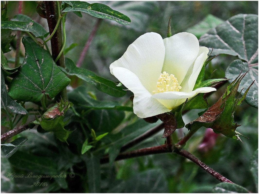 Такой цветок  у хлопка..... - Юрий Владимирович
