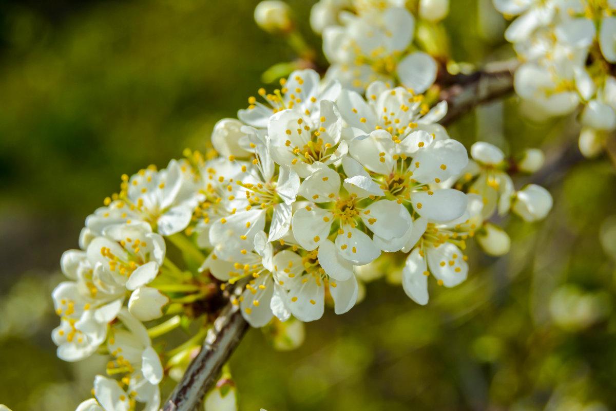 белые весенние - Света Кондрашова