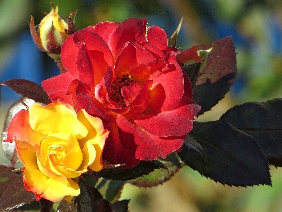 Сладкий запах поздних роз - Татьяна Смоляниченко