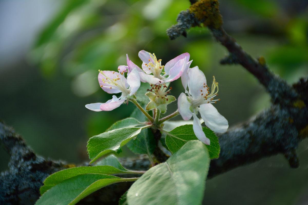 Весны цветенье... (этюд 6) - Константин Жирнов