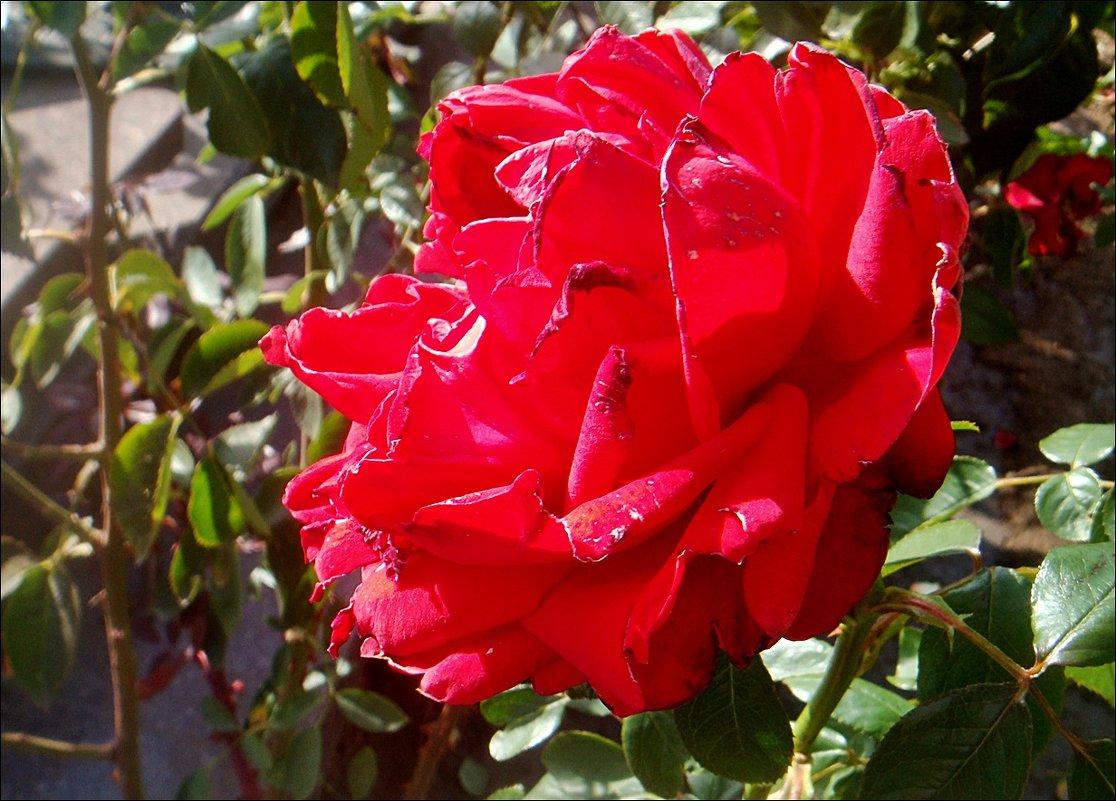Осенняя роза - Нина Корешкова