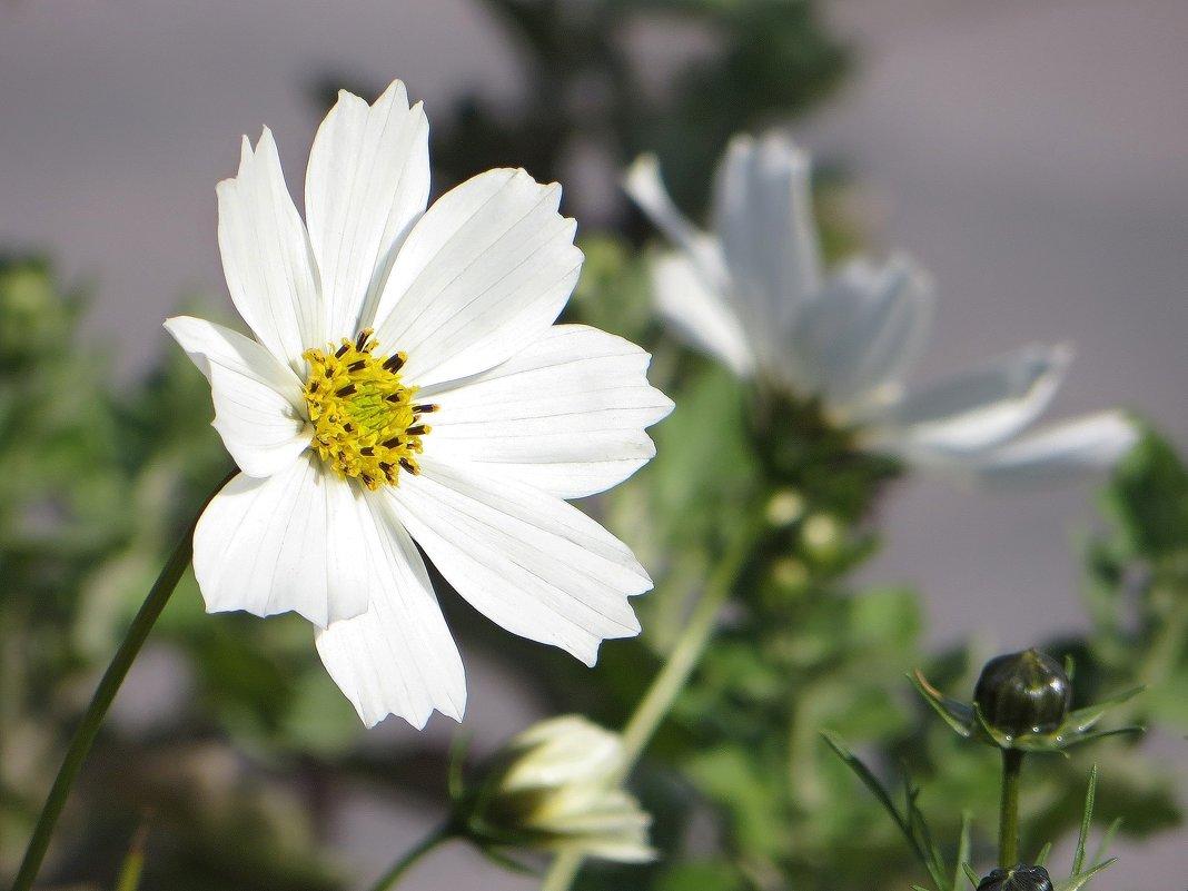 Цветок космеи - Татьяна Смоляниченко