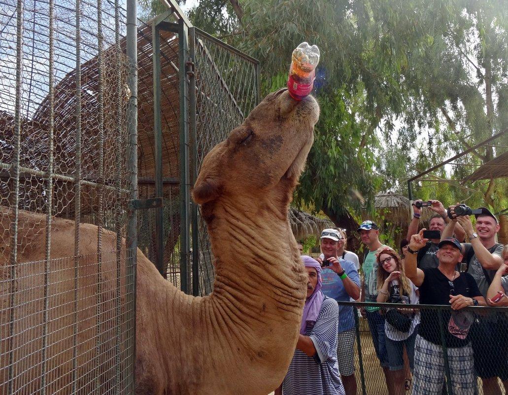 - Там, где верблюд, там кока-кола! - Чария Зоя