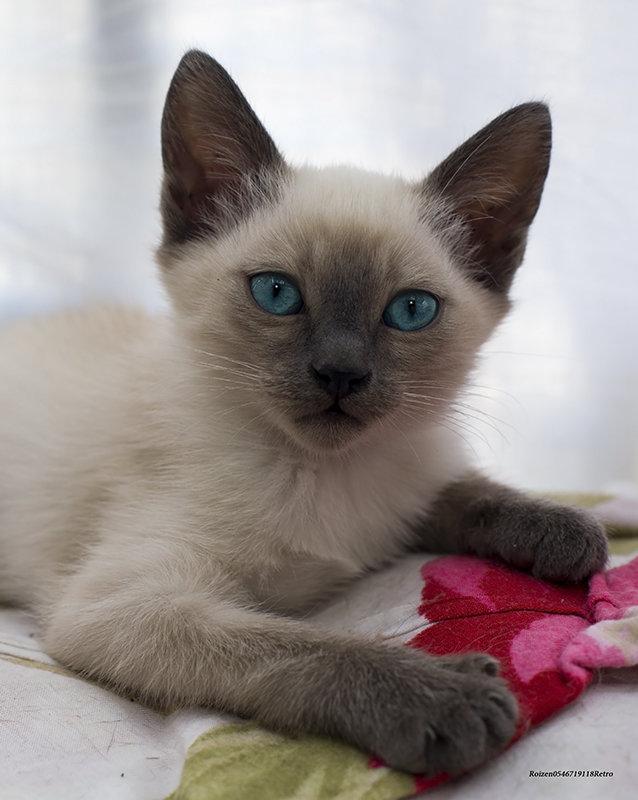Марсик-из серии Кошки очарование мое! - Shmual Hava Retro