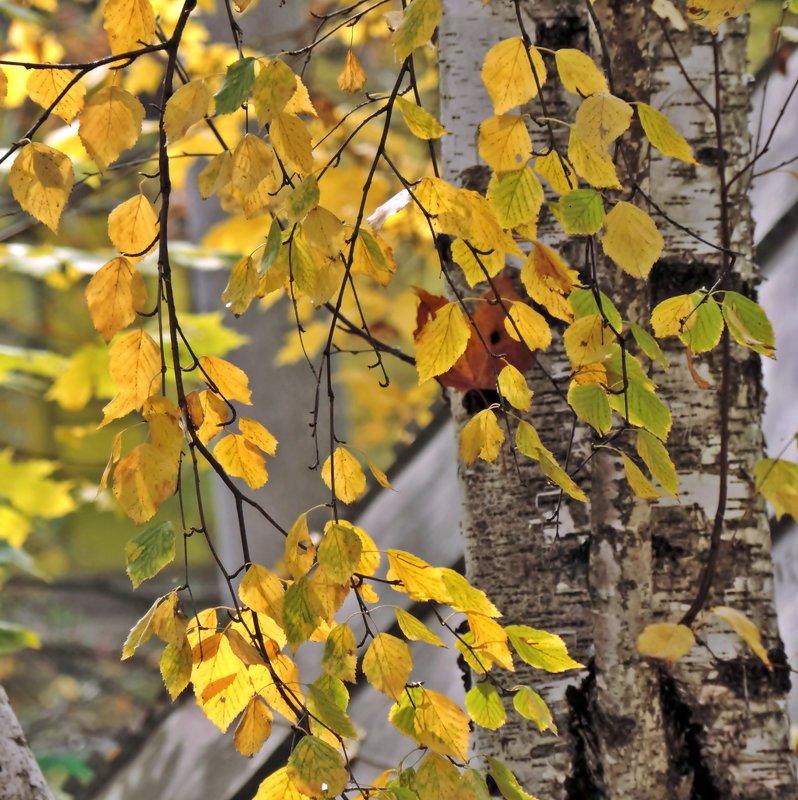 Осенние листья - ivolga